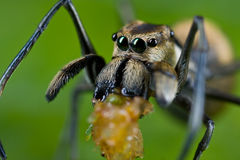 An ant-mimic Jumping spider with prey. Macro shot of an ant-mimic Jumping spider with prey - a planthopper nymph Royalty Free Stock Photo