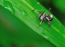 Ant Mimic Spider Royalty Free Stock Image