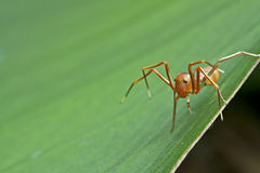 The ant mimic spider Stock Image