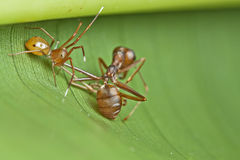 Ant-mimic spider eating weaver ants. An ant-mimic jumping spider enjoying its meal of a weaver ants Stock Photography