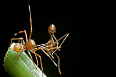 The ant mimic spider with its food. The ant mimic spider having an weaver ants as its food Stock Photography