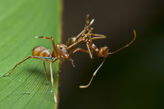 The ant mimic spider with its food. The ant mimic spider having an weaver ants as its food Royalty Free Stock Images