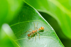 Ant mimic spider - male Stock Images