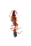 Ant mimic spider myrmarachne. Ant mimic spider, Myrmarachne, isolated on white background Stock Images