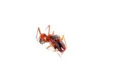 Ant mimic spider myrmarachne. Ant mimic spider, Myrmarachne, isolated on white background Royalty Free Stock Photo