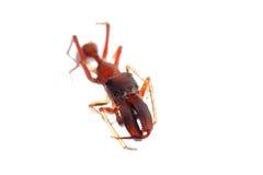 Ant mimic spider myrmarachne. Ant mimic spider, Myrmarachne, isolated on white background Royalty Free Stock Photos