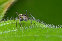 Ant mimic spider. Walking on the leaf Stock Image