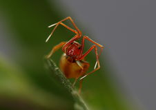 Ant-mimicing spider. This spider is a predator which mimics an ant in order to deceive it's prey Stock Photos
