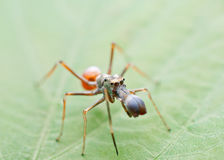 Ant mimicking spider Royalty Free Stock Image