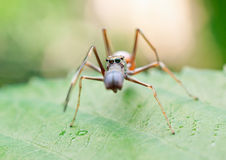 Ant mimicking spider Stock Photo
