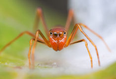 Ant-Mimicking Spider Royalty Free Stock Photography