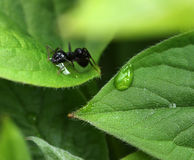 Ant among moist green garden leaves Royalty Free Stock Images