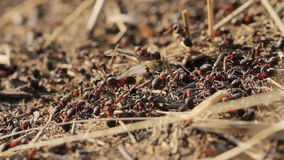 Ant motion on anthill stock video