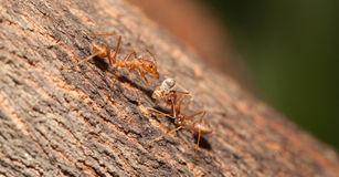 Ant moving food Royalty Free Stock Photography