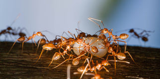 Ant moving food Royalty Free Stock Image