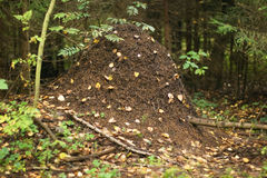 Ant nest. A close view of an ant nest in the forest in central Russia royalty free stock photography