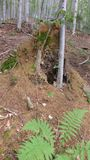 Ant nest in beech forest Royalty Free Stock Photo