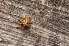 Ants carrying food. Ant is nesting into a large kingdom. Some nests have a population of up to a million. Caste Royalty Free Stock Image