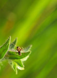 Ant on nonea leaf Stock Image