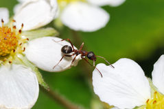 Ant obstacle Stock Image
