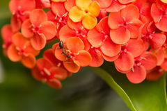 Ant on orange Ixora Chinensis flowers Royalty Free Stock Photos
