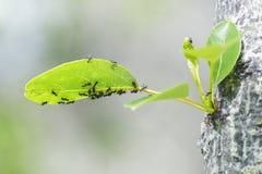 Ant Patrol på poppelsidor royaltyfria foton