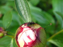 Ant on peony bud Royalty Free Stock Image