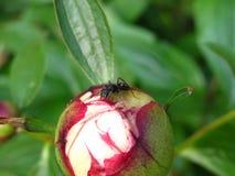 Ant on peony bud Royalty Free Stock Image