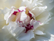 Ant on a Peony Flower Stock Image