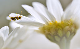 Ant on the petal anthemis flower Stock Images