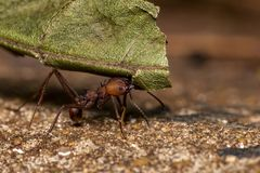 Ant Pheidole spp carrying leaf close up