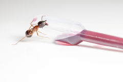 Ant on an pipette Stock Photography