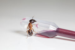 Ant on an pipette Stock Images