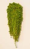 Ant plant or  Dischidia nummularia Variegata Stock Images