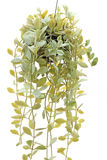 Ant plant. Dischidia pectinoides Pear on white background Stock Image
