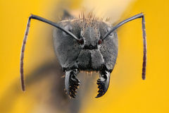 Ant portrait with long jaws Stock Images