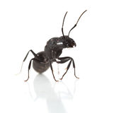 Ant portrait Royalty Free Stock Images