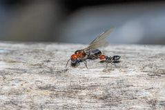 Ant and queen close up royalty free stock photos