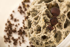 Free Ant Queen In The Nest Stock Photos - 89897783