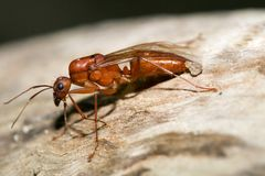 Ant Queen. A red harvester ant queen resting on an old log stock photography