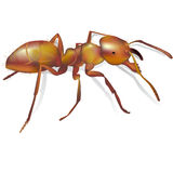Ant realistic detailed Royalty Free Stock Image