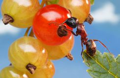 Ant and Red Currant Stock Images