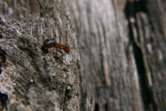 Ant at the rock don`t look back Royalty Free Stock Photos