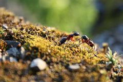 Ant´s fight. Close-up of giant ants fighting Stock Photos