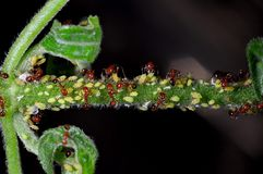 Ants garden. Ecology of fire ants and aphis royalty free stock photo