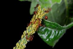 Ants garden. Ecology of fire ants and aphis stock image
