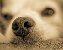 Ant`s Perspective on a Dog`s Nose royalty free stock photos