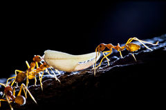 Ant's team work Stock Images