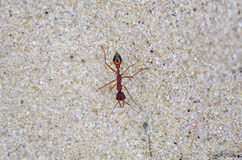 Ant on sand. A red ant on sand beach walking Stock Photo