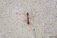 Ant on sand Stock Photo